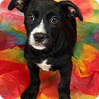 Adopt A Pet :: Larz Min Pin Dash - St. Louis, MO