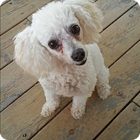 Poodle (Toy or Tea Cup) Dog for adoption in chaparral, New Mexico - Nina