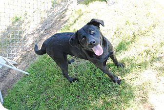 Labrador Retriever Mix Dog for adoption in Huntsville, Alabama - Remmy