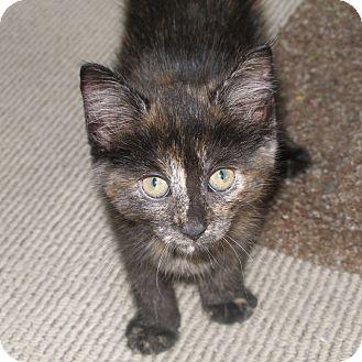 Domestic Shorthair Kitten for adoption in Covington, Kentucky - Kajol
