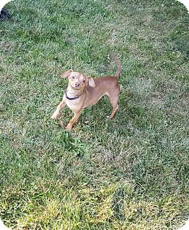 Dachshund Mix Dog for adoption in Burlington, Vermont - Opie