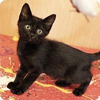 Adopt A Pet :: MIdnight - Mayflower, AR