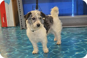 Poodle (Miniature)/Jack Russell Terrier Mix Dog for adoption in Lodi, California - Bentlee