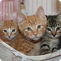 American Shorthair Kitten for adoption in Priest River, Idaho - Copper