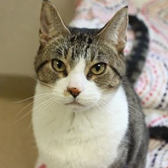 Domestic Shorthair Cat for adoption in Naperville, Illinois - Stewey