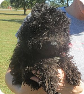 Poodle (Miniature) Puppy for adoption in Salem, New Hampshire - Sergio