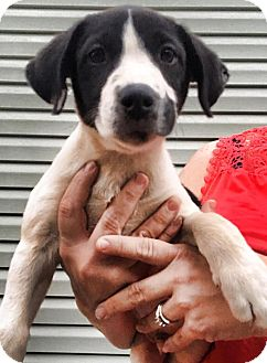 Labrador Retriever/Pointer Mix Puppy for adoption in Arlington, Massachusetts - Anniston