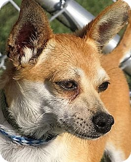 Chihuahua Mix Dog for adoption in Germantown, Maryland - Collin