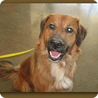 Adopt A Pet :: Chief - Divide, CO