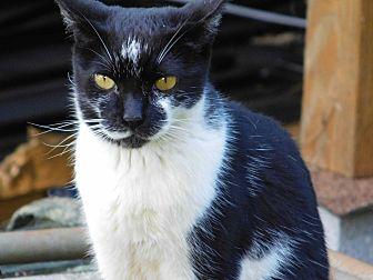 Domestic Shorthair Cat for adoption in Makawao, Hawaii - AJ