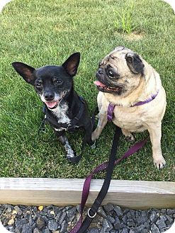 Pug Dog for adoption in Greensboro, Maryland - Dilly and Pickle