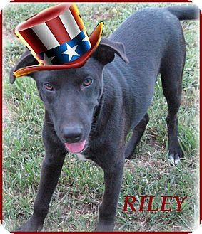 Flat-Coated Retriever/Labrador Retriever Mix Puppy for adoption in Marlborough, Massachusetts - Riley-Really Gentle Dog
