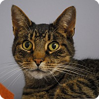 Domestic Shorthair Cat for adoption in Winchendon, Massachusetts - Joey