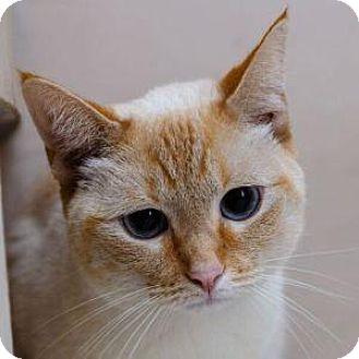 Siamese Cat for adoption in Decatur, Georgia - PEACHES