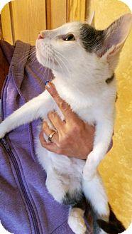 Domestic Shorthair Cat for adoption in Harrisonburg, Virginia - Scout