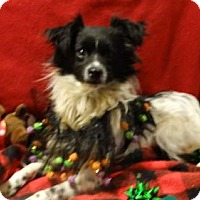 Adopt A Pet :: Opie - Vacaville, CA