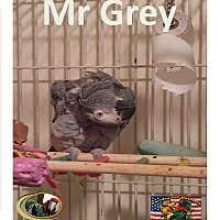 Adopt A Pet :: Special Needs African Grey . - Vancouver, WA