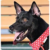 Adopt A Pet :: Shana - San Mateo, CA