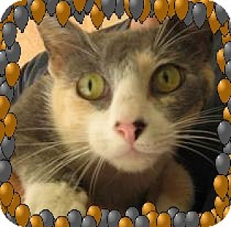 Calico Cat for adoption in Los Angeles, California - Pretty Patience