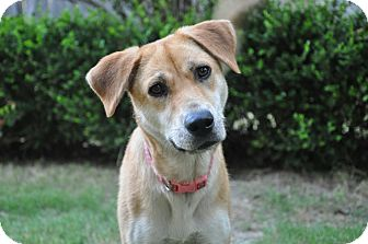 Black Mouth Cur/Basenji Mix Dog for adoption in Glastonbury, Connecticut - MAYBELLINE/Summer Pricing