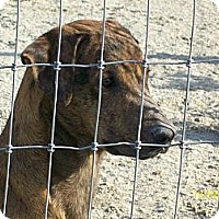 Catahoula Leopard Dog/Labrador Retriever Mix Dog for adoption in Mexia, Texas - Mickey