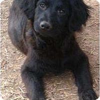 Adopt A Pet :: Calie - Staunton, VA