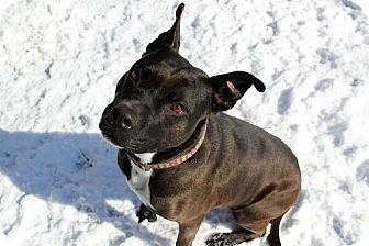 Pit Bull Terrier Dog for adoption in Indianapolis, Indiana - Momma