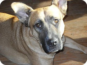 Belgian Malinois/Shepherd (Unknown Type) Mix Dog for adoption in Newport, Vermont - Austin