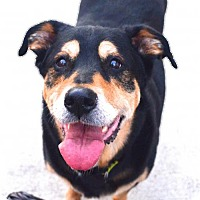 Rottweiler/German Shepherd Dog Mix Dog for adoption in Spring Lake, New Jersey - Angie