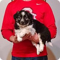 Adopt A Pet :: Rocco - New Philadelphia, OH