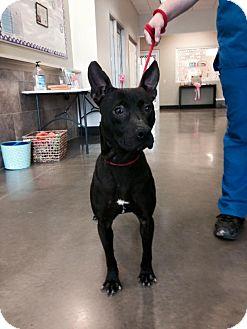 Pharaoh Hound Mix Dog for adoption in Macon, Georgia - Spunk