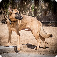 Adopt A Pet :: Lucca - Phoenix, AZ