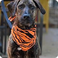 Adopt A Pet :: Bam-Bam - Baton Rouge, LA