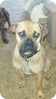 Boxer/Mastiff Mix Dog for adoption in Flintstone, Maryland - Samson