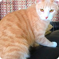 Domestic Shorthair Cat for adoption in West Des Moines, Iowa - Niles