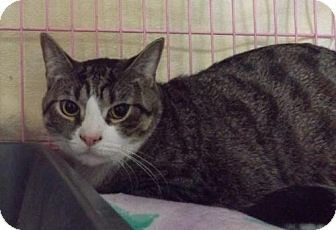 Domestic Shorthair Cat for adoption in Orleans, Vermont - Roscoe