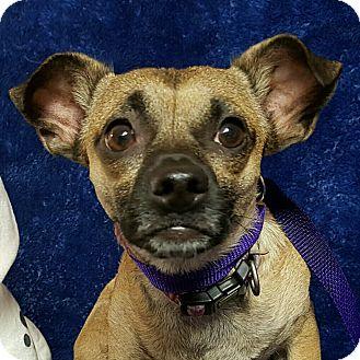 Chihuahua/Pug Mix Dog for adoption in Yucaipa, California - Chuck