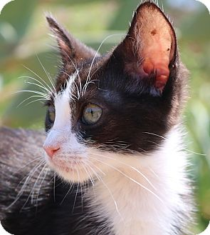 Domestic Shorthair Kitten for adoption in cupertino, California - Minnie -- 50.00