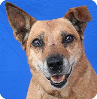 Shepherd (Unknown Type) Mix Dog for adoption in Pagosa Springs, Colorado - Maisie