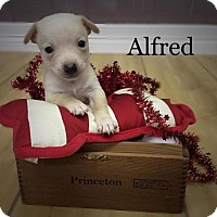 Adopt A Pet :: Alfred - Shreveport, LA