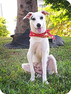 Kishu/Terrier (Unknown Type, Medium) Mix Dog for adoption in San Mateo, California - Ammy