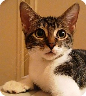 Domestic Shorthair Cat for adoption in Houston, Texas - Katherine