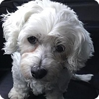 Maltese Dog for adoption in Los Angeles, California - Callie
