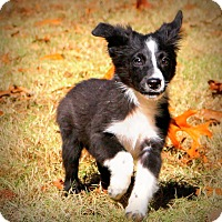 Border Collie Mix Puppy for adoption in Glastonbury, Connecticut - Petey~meet me~