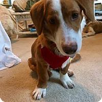 Adopt A Pet :: Gingersnap - Coldwater, MI