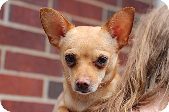 Chihuahua/Dachshund Mix Dog for adoption in College Station, Texas - Skittles