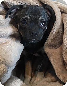 Pug/Dachshund Mix Puppy for adoption in Tucson, Arizona - Abra's pup Flareon