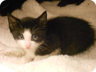Domestic Shorthair Kitten for adoption in Maywood, New Jersey - Boots