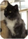 Domestic Mediumhair Cat for adoption in El Cajon, California - Theo