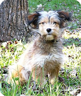 Border Terrier/Norfolk Terrier Mix Dog for adoption in Mocksville, North Carolina - Britnee